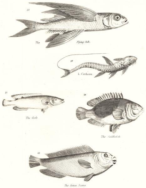 FISH. Fishes; Flying; L. Cirrhosa; Cook; Saddlefish; Cretan Scarus 1860 print