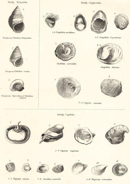 Associate Product MOLLUSCS.Viviparidae.Bengalenis;paludina costata;vulgaris;Calyptraeidae 1860