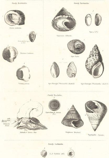 Associate Product MOLLUSCS. Neritinidae; Turbinidae; Trochidae; Gadiniidae 1860 old print