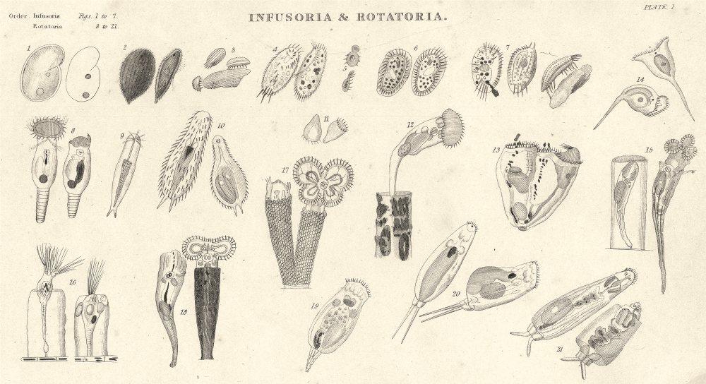 Associate Product INFUSORIA ROTATORIA.Kolpoda,Ren;Ophryoglena,Acuminata;Oxytricha,Cicada 1860