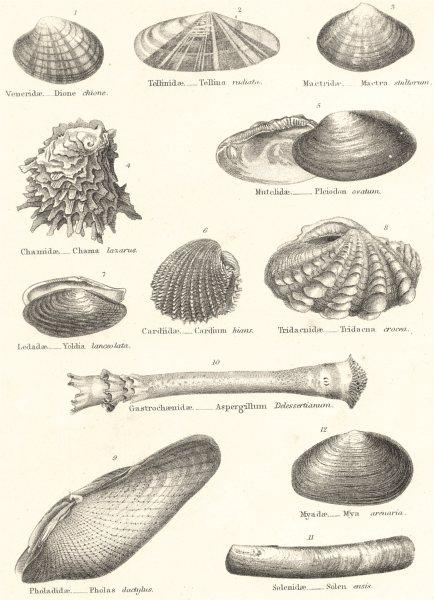 Associate Product MOLLUSCS. Veneridae; Tellinidae; Mactridae; Chamidae; Mutelidae; Cardiidae 1860