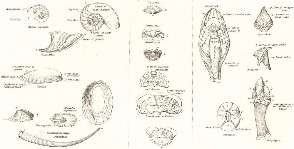 Associate Product MOLLUSCS.Conchology terms;Symmetrical Univalves;Serial Mollusca;Cirrihpeds 1860