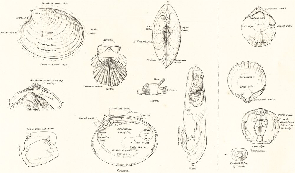 Associate Product MOLLUSCS. The Terms used in Conchology; Bivalve Shells; Lamplike Shells 1860