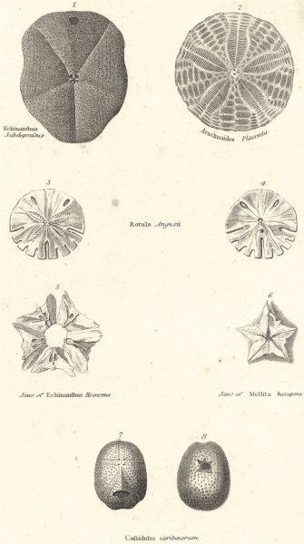 Associate Product ECHINODERMATA.Echinanthus Subdepressus;Arachnoides Placenta;Rotula Angusti 1860