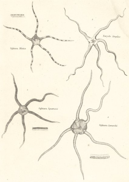 Associate Product ECHINODERMATA OPHIURIDAE.Ophiura Mutica,Squamosa,Lamarckii;Euryale Simplex 1860