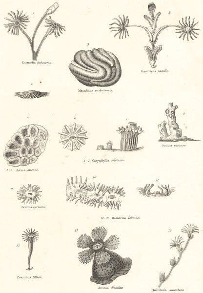 Associate Product POLYPS. Laomedia dichotoma; Dynamena pumila; Meandrina cerebriformis 1860