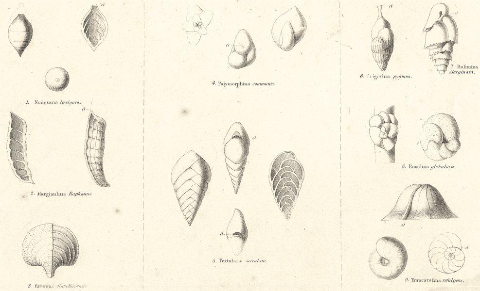 Associate Product AMOEBOIDS. Rhizopoda; Nodosaria laevigata; Marginulina Raphanus; Pavonina 1860