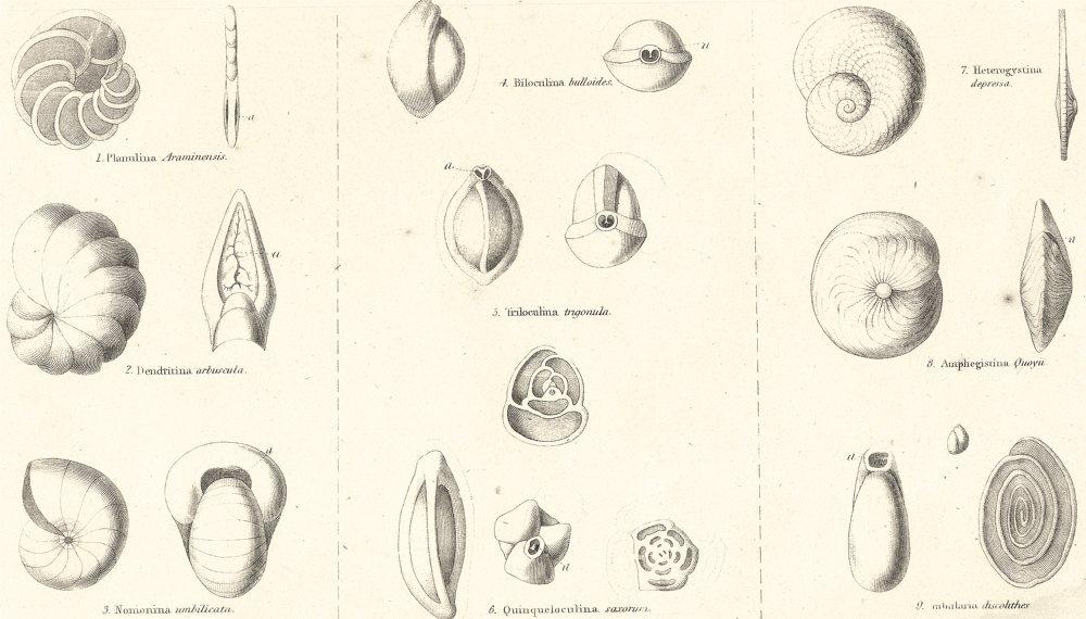 Associate Product AMOEBOIDS. Rhizopoda Polystomelladae; Planulina Araminensis; Dendritina 1860
