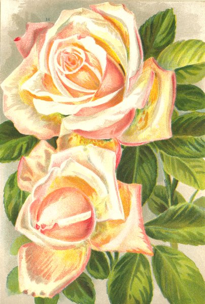 Associate Product ROSES. Catherine Mermet 1903 old antique vintage print picture