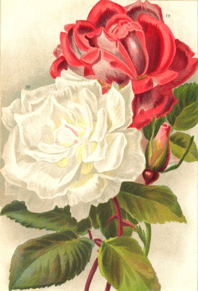 ROSES. Climbing Countess of Oxford; Innocent Pirola 1903 old antique print