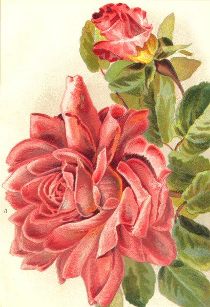 Associate Product ROSES. Madame De Watteville 1903 old antique vintage print picture