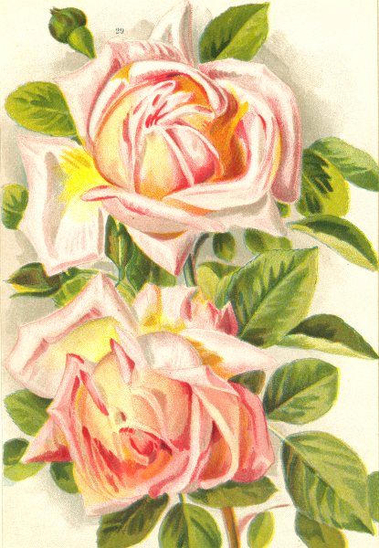 Associate Product ROSES. Grace Darling 1903 old antique vintage print picture