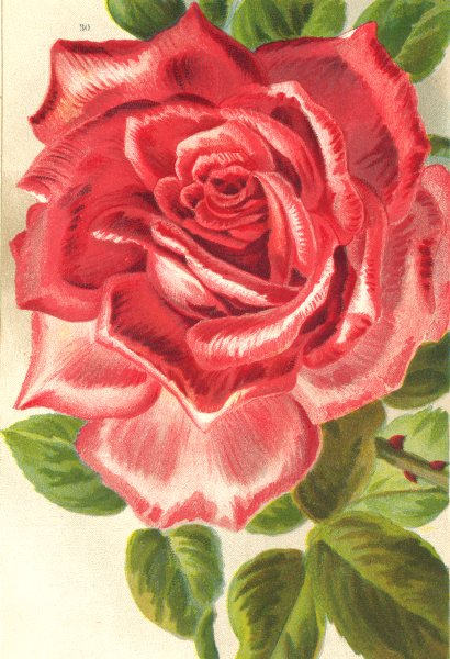 Associate Product ROSES. Mrs. W. J. Grant 1903 old antique vintage print picture
