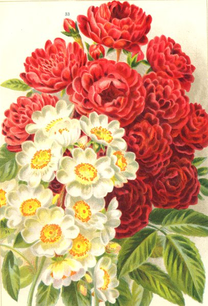 Associate Product ROSES. Turner's Crimson Rambler; Rosa Multiflora 1903 old antique print