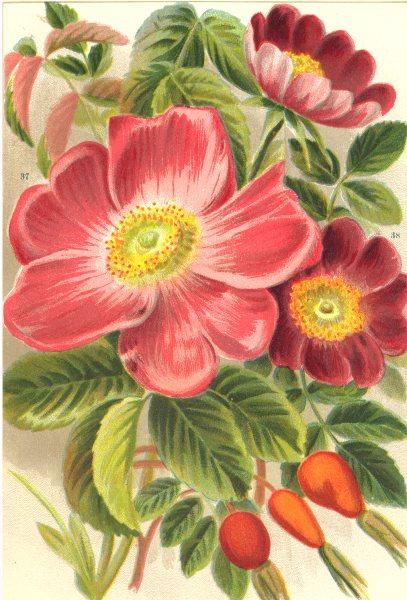 Associate Product ROSES. Rosa Gallica; Rosa Alpina 1903 old antique vintage print picture