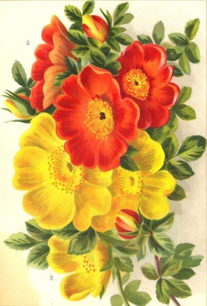 Associate Product ROSES. Rosa Lutea; Copper Austrian Briar 1903 old antique print picture