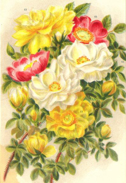 Associate Product ROSES. Spinosissima Lutea; Rosa Acicularis Nipponensis. Alba 1903 old print