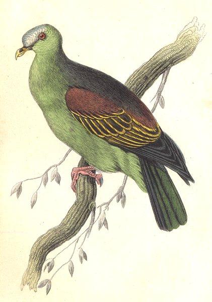 Associate Product BIRDS. Vinago Aromatica. Original hand colouring. Prideaux John Selby 1835