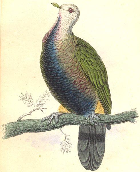 Associate Product BIRDS. Carpophaga Magnifica. Original hand colouring. Prideaux John Selby 1835