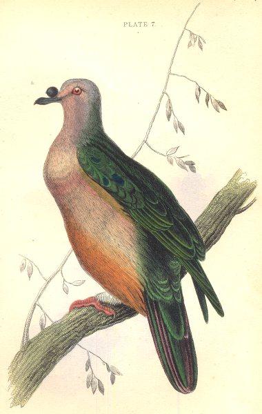 Associate Product BIRDS. Carpophaga Oceanica. Original hand colouring. Prideaux John Selby 1835