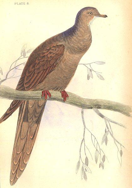 Associate Product BIRDS. Columba Plasianella. Original hand colouring. Prideaux John Selby 1835