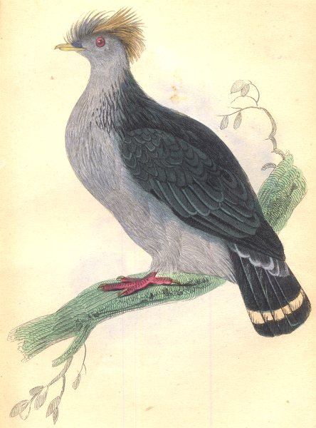 Associate Product BIRDS. Columba Dilopha. Original hand colouring. Prideaux John Selby 1835
