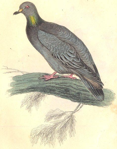Associate Product BIRDS. Columba Cenas. Original hand colouring. Prideaux John Selby 1835 print