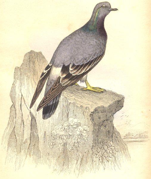 BIRDS. Columba Livia. Original hand colouring. Prideaux John Selby 1835 print