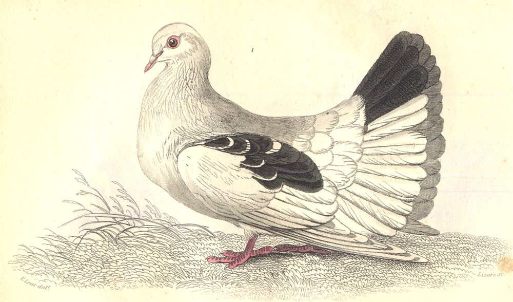 Associate Product BIRDS. Columba Livia, Var Laticauda. Prideaux John Selby 1835 old print
