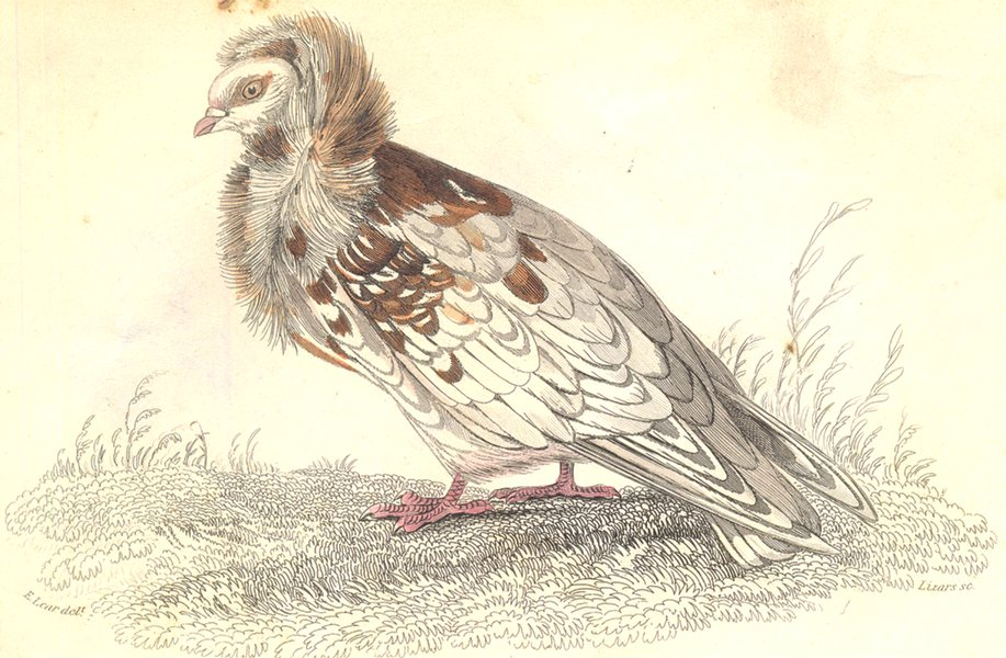 Associate Product BIRDS. Columba Livia, Var, Cucullata. Prideaux John Selby 1835 old print