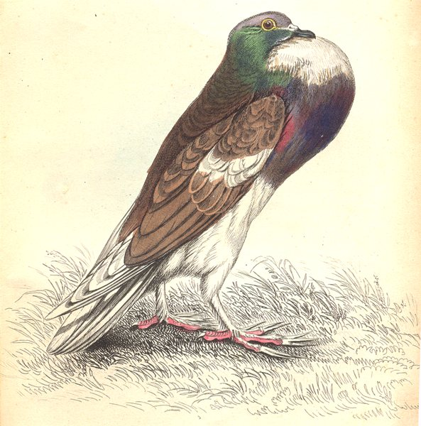 Associate Product BIRDS. Columba Livia, Var, Gutturosa. Prideaux John Selby 1835 old print