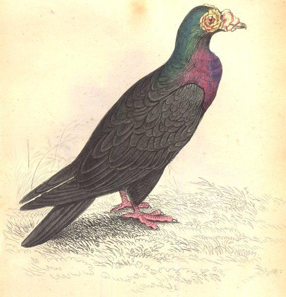 Associate Product BIRDS.Columba Livia,Var,Turcica.Original hand colouring.Prideaux John Selby 1835