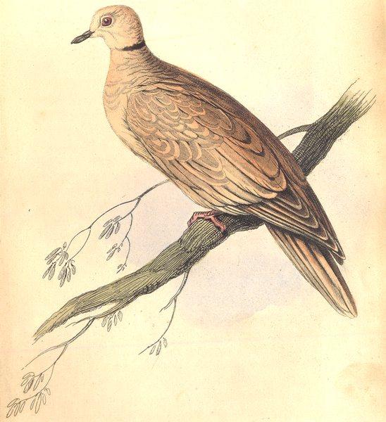 Associate Product BIRDS. Turtur Risorius. Original hand colouring. Prideaux John Selby 1835