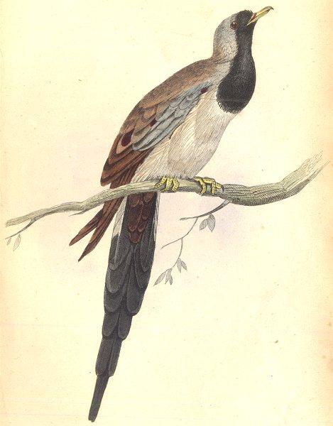 Associate Product BIRDS. Ectopistes Capensis. Original hand colouring. Prideaux John Selby 1835