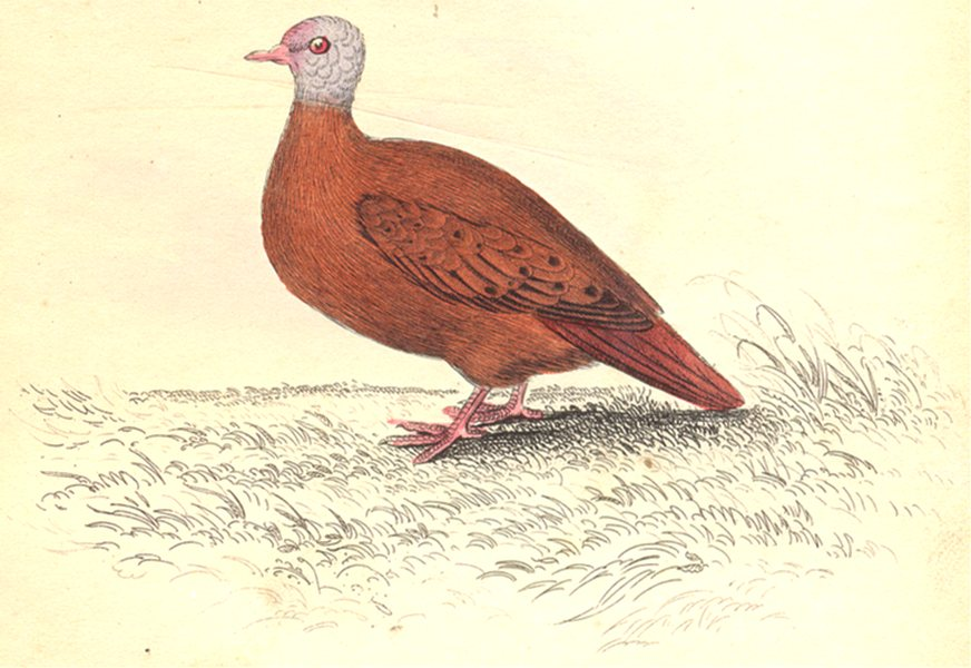 Associate Product BIRDS. Chaemepelia Talpicoti. Original hand colouring. Prideaux John Selby 1835