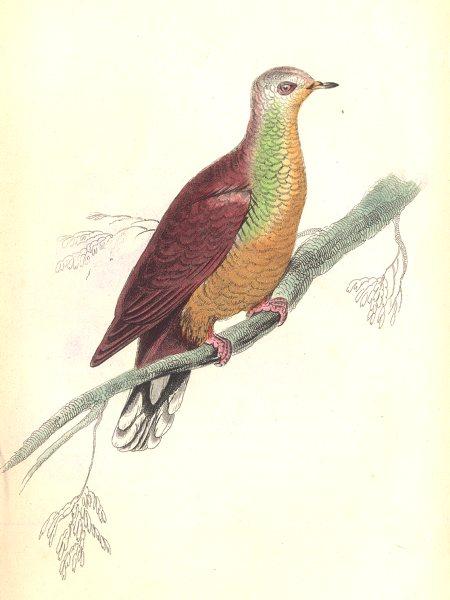 Associate Product BIRDS. Peristera Larvata. Original hand colouring. Prideaux John Selby 1835