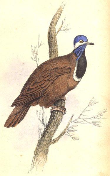 Associate Product BIRDS.Geophilus Cyanocephalus.Original hand colouring.Prideaux John Selby 1835