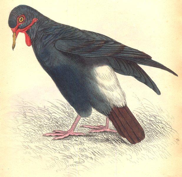 Associate Product BIRDS. Glophilus Carunculatus. Original hand colouring. Prideaux John Selby 1835