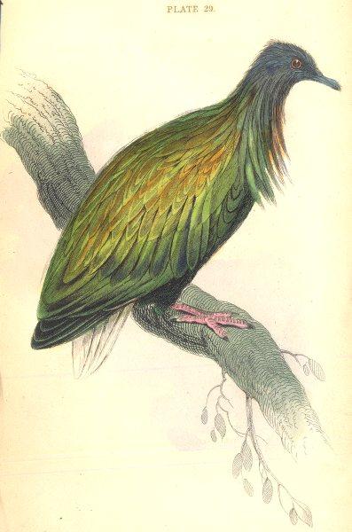 Associate Product BIRDS. Geophilus Nicobaricus. Original hand colouring. Prideaux John Selby 1835
