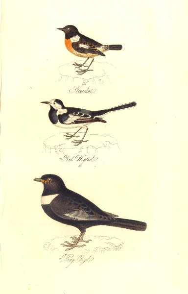 Associate Product BRITISH BIRDS. Stonechat; Pied Wagtail; Ring Ouzel. MUDIE. Hand coloured. 1835