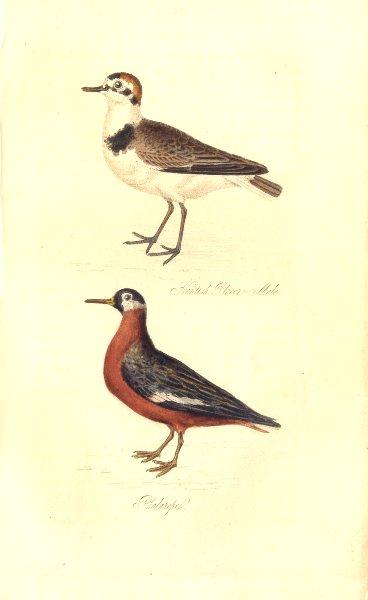 Associate Product BRITISH BIRDS. Kentish Plover–Male; Phalarope. MUDIE. Hand coloured. 1835