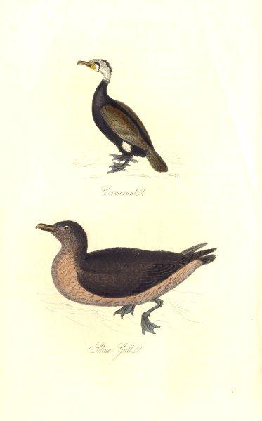 Associate Product BRITISH BIRDS. Cormorant; Skua Gull. MUDIE. Hand coloured. 1835 old print