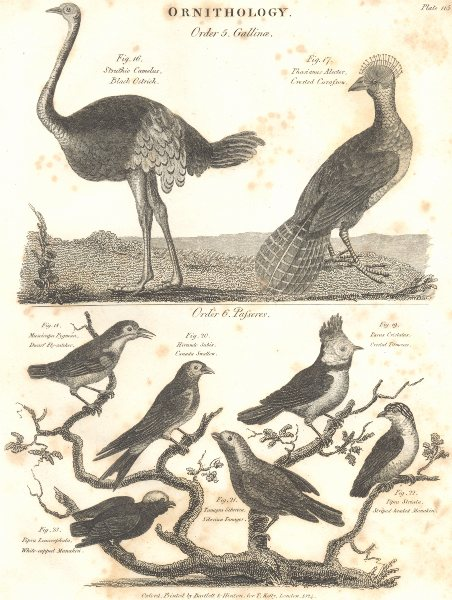 Associate Product ORNITHOLOGY.Ostrich;Curassow;Fly-catcher,Swallow;Titmouse;Tanager;Manakin 1830