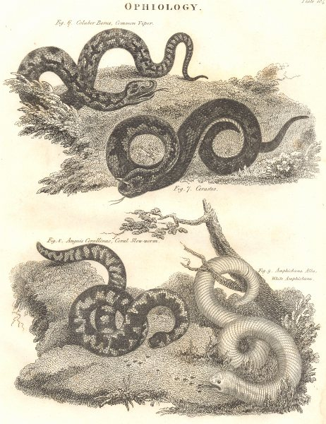 Associate Product SNAKES. Ophiology. Cmn Viper; Cerastes; Coral Slow-worm; White Amphisbaena 1830