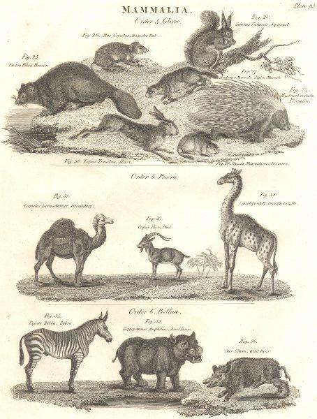 Associate Product MAMMALS. Porcupine Beaver Squirrel Hare Camel Giraffe Ibex Zebra Hippo Boar 1830