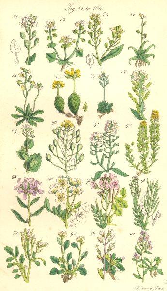 Associate Product WILD FLOWERS.Grass;Horseradish;Awl-Wort;Draba;Alyssum;Madwort;Cress.SOWERBY 1890