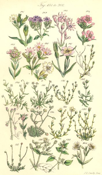 Associate Product WILD FLOWERS.Catchfly;Cuckoo;Campion;Corn Cockle;Chickweed;Spurrey.SOWERBY 1890