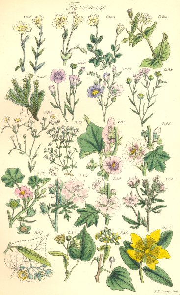 Associate Product WILD FLOWERS. Chickweed Cyphel Flax Mallow Lime Linden-tree Tutsan. SOWERBY 1890