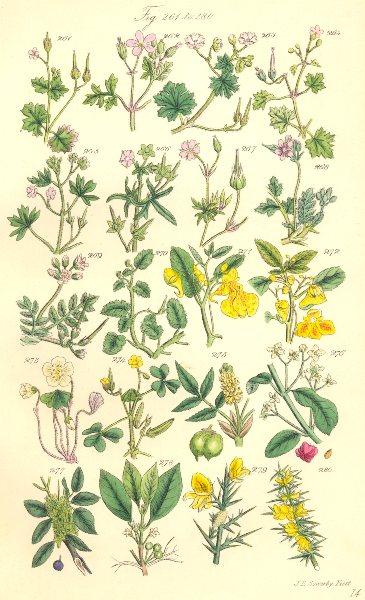 Associate Product WILD FLOWERS. Balsam Sorrel Shamrock Spindle-tree Buckthorn Furze. SOWERBY 1890