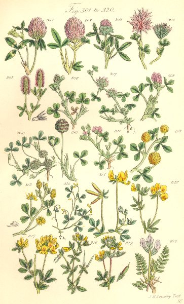 Associate Product TREFOILS. Red Teasle Starry Knotted Sand Strawberry Yellow Slender. SOWERBY 1890